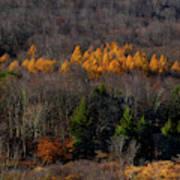 Yellow Pine Art Print