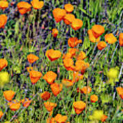 Yellow Poppies Of California Art Print