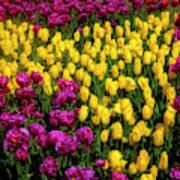 Yellow Star Tulips Art Print