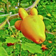 Yellow Tomato In The Amazon Jungle, Peru Art Print