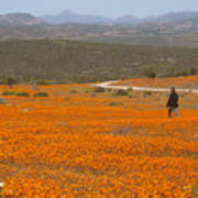 A lone woman walks through a large field of orange Namaqualand Daisies (Dimorphotheca spp) looking out towards the Kamiesberg mountains, South Africa Art Print
