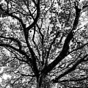 Autumn Sycamore Art Print