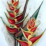 Heliconia Tropicana Trinidad Art Print