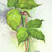 Jack in the Pulpit  Art Print