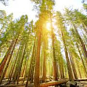 Mariposa Grove Trees In Yosemite National Park Art Print