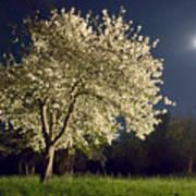 Moonlit Blooming Tree Art Print