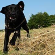 Running and jumping hunting black Labrador Retreiver dog in hay Art Print