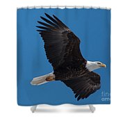 Bald Eagle In Flight 6 Shower Curtain