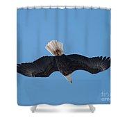 Bald Eagle In Flight 8 Shower Curtain