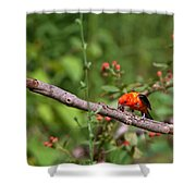 Berry Eating  Scarlet Tanager Shower Curtain