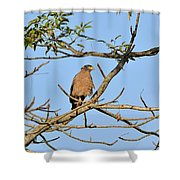 Crested Serpent Eagle Shower Curtain