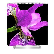Japanese Iris Violet Black  Shower Curtain
