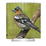 Male Chaffinch Shower Curtain