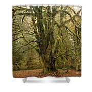 Moss-covered Big Leaf Maple Tree Shower Curtain