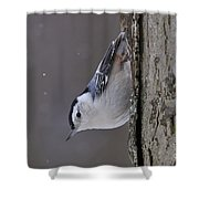 White-breasted Nuthatch Pictures 27 Shower Curtain