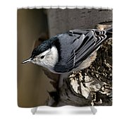 White-breasted Nuthatch Pictures 35 Shower Curtain