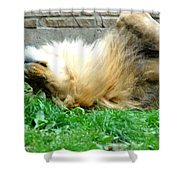 001 Lazy Boy At The Buffalo Zoo Shower Curtain