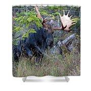 0339 Bull Moose 3 Shower Curtain