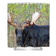 0341 Bull Moose Shower Curtain