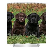 8 Labrador Retriever Puppies Brown And Black Side By Side Shower Curtain by Dog Photos