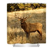 A Bull Elk In Rut Shower Curtain