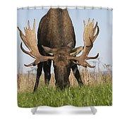 A Large Bull Moose Feeds Near Point Shower Curtain