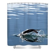 A Penguin Swims Through The Clear Shower Curtain