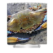 Adult Male Blue Crab Shower Curtain