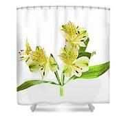 Alstroemeria Flowers Against White Shower Curtain