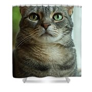 American Shorthair Cat Profile Shower Curtain
