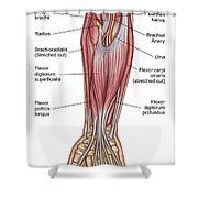Anatomy Of Forearm Muscles, Anterior Shower Curtain