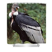 Andean Condor Male Cayambe Ecuador Shower Curtain