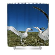 Antipodean Albatross Courtship Display Shower Curtain by Tui De Roy