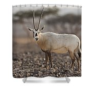 Arabian Oryx Oryx Leucoryx Shower Curtain