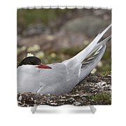 Arctic Tern In Its Nest Shower Curtain