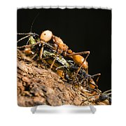 Army Ant Carrying Cricket La Selva Shower Curtain