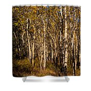 Aspen Forest In Fall Shower Curtain