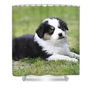 Australian Shepherd Puppy Shower Curtain