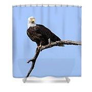 Bald Eagle 7 Shower Curtain