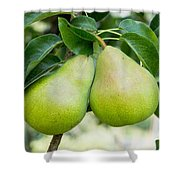 Bartlett Pears  Shower Curtain