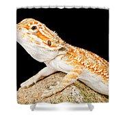 Bearded Dragon Pogona Sp. On Rock Shower Curtain