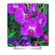 Beautiful Purple Orchid - Phalaenopsis Shower Curtain
