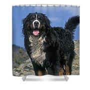 Bernese Mountain Dog Shower Curtain