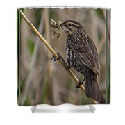 Big Dinner For Female Red Winged Blackbird I Shower Curtain