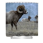 Big Horn Sheep 2 Shower Curtain