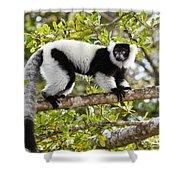 Black And White Ruffed Lemur Madagascar Shower Curtain
