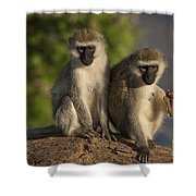 Black-faced Vervet Monkey Shower Curtain
