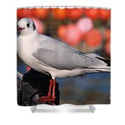 Black-headed Gull Shower Curtain