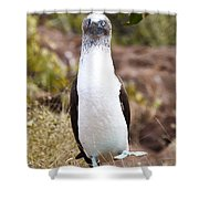 Blue Footed Boobie Dancing Galapagos Shower Curtain