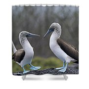 Blue-footed Boobies Courting Galapagos Shower Curtain